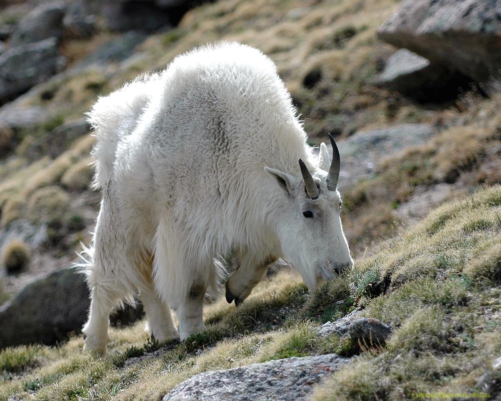 ps-mountain-goat-20x16_200-9927
