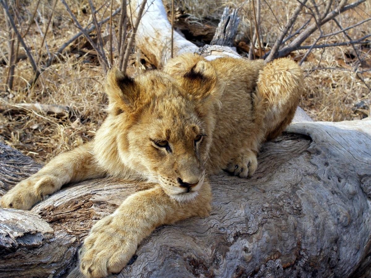 Lion Cub - Krugar National Park - S. Africa