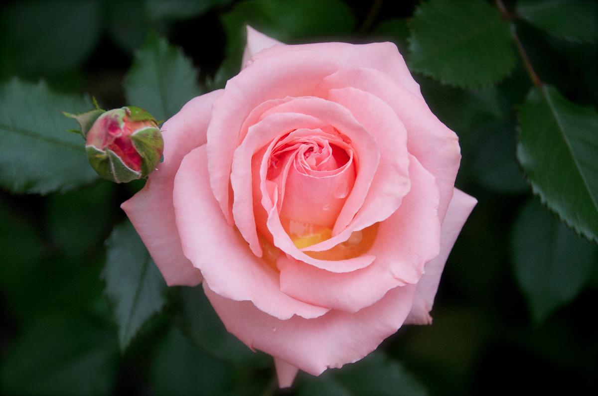 My Garden, Pink Rose Revisit - 2012