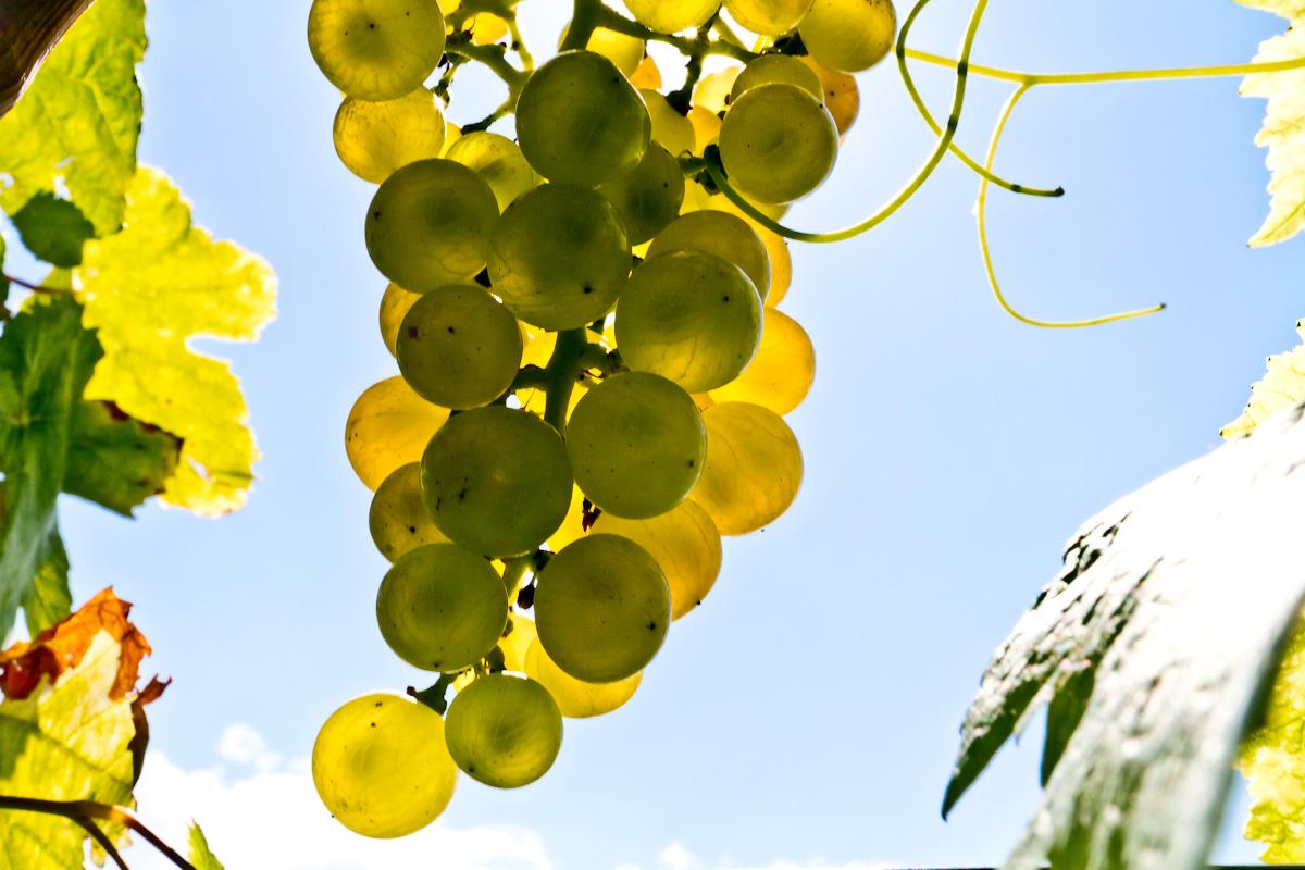 Harvest-time-Chardonne-Switzerland-September-2010