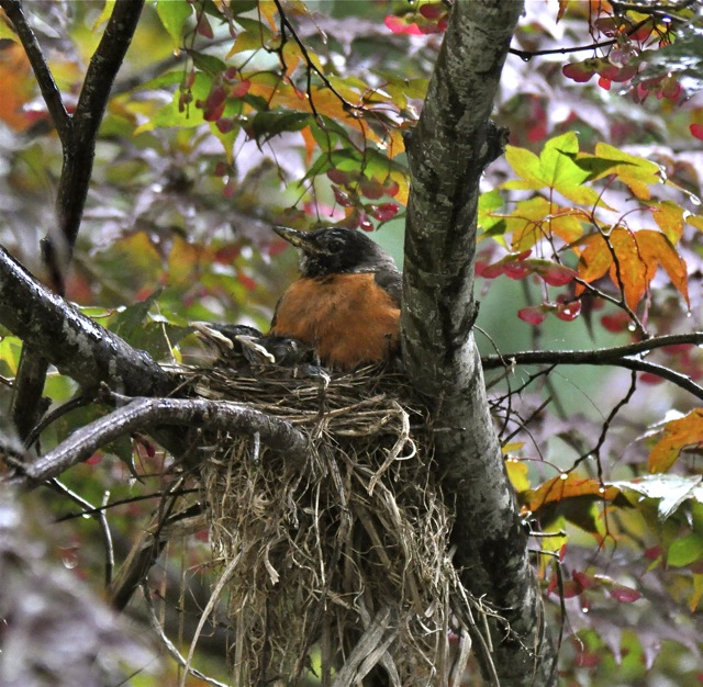 Robins Nest In My Garden 2009