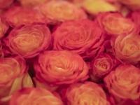 Roses - 2009