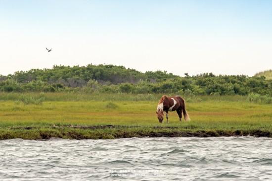 Wild pony grazes on  Assateague Island beach near Ocean City Maryland