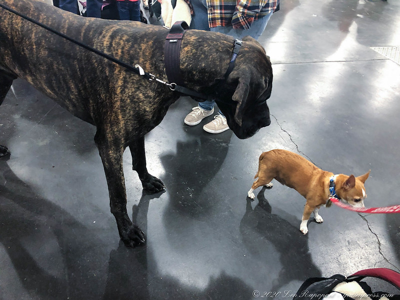 Georgie Meets Great Dane